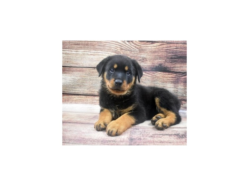 Rottweiler-Female-Black and Mahogany-2905358-Pet City Houston