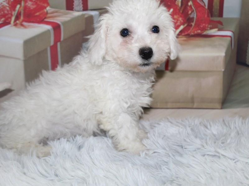 Bichon Frise-Male-White-2905406-Pet City Houston
