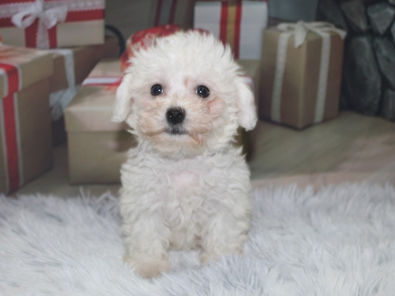 Bichon Frise-Female-White-2905486-Pet City Houston