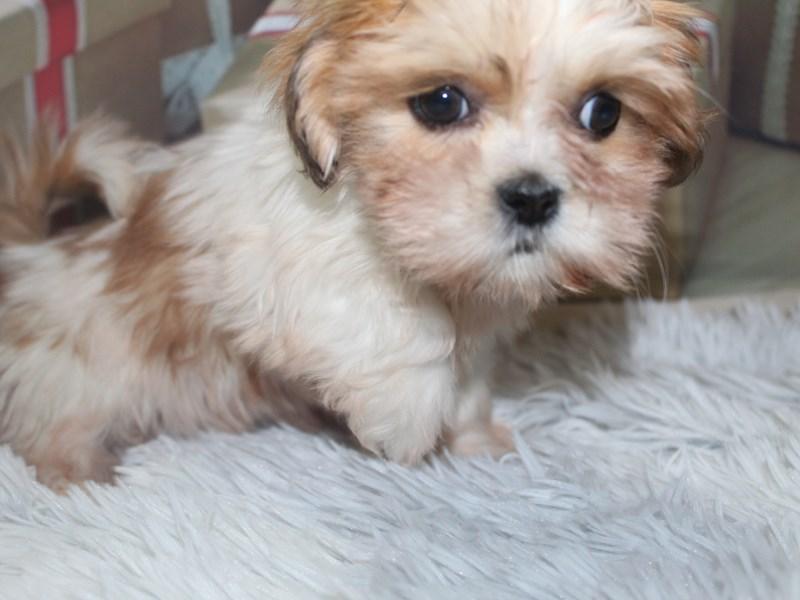 Lhasa Apso-Female-Red Wht Parti-2905127-Pet City Houston
