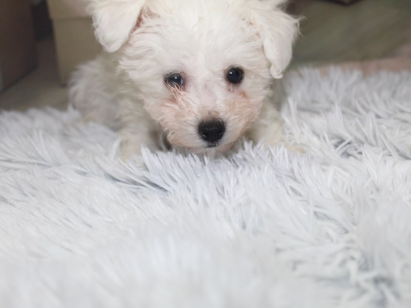 Bichon Frise-Male-White-2905446-Pet City Houston