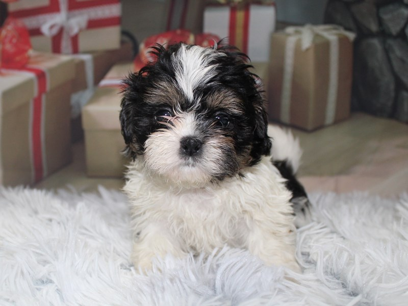 Shih Tzu-Male-BLK/WHT-2905812-Pet City Houston