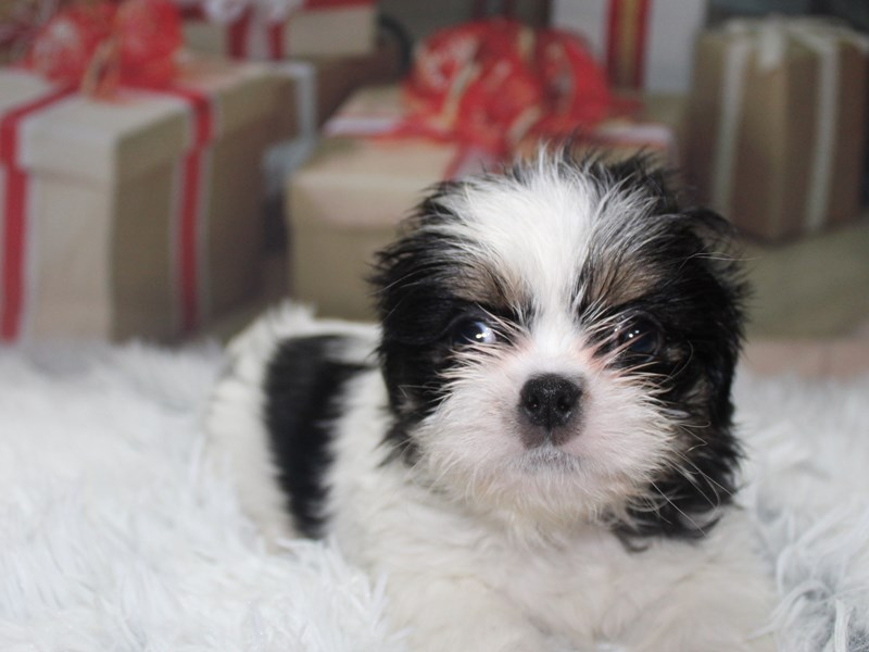 Shih Tzu-Male-BLK/WHT-2905804-Pet City Houston