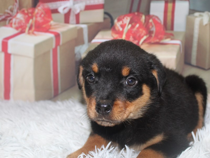 Rottweiler-Male-BLK/TAN-2905854-Pet City Houston