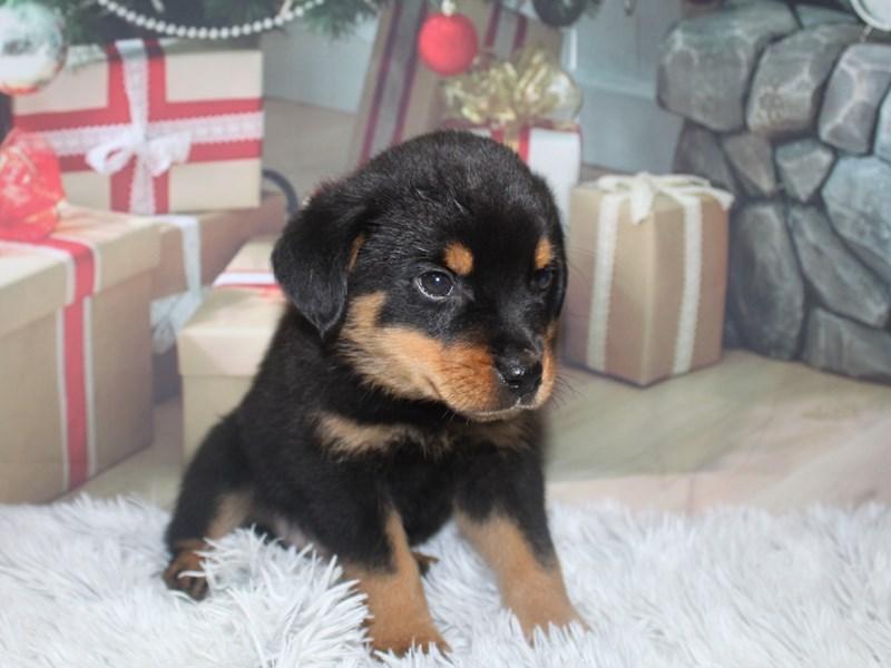 Rottweiler-Male-BLK/TAN-2905853-Pet City Houston