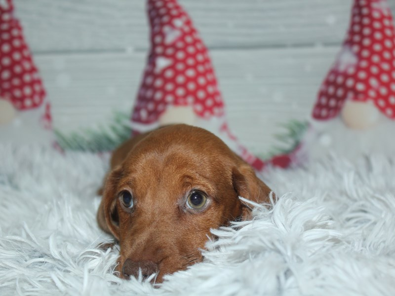 Dachshund-Male-Red-2905599-Pet City Houston