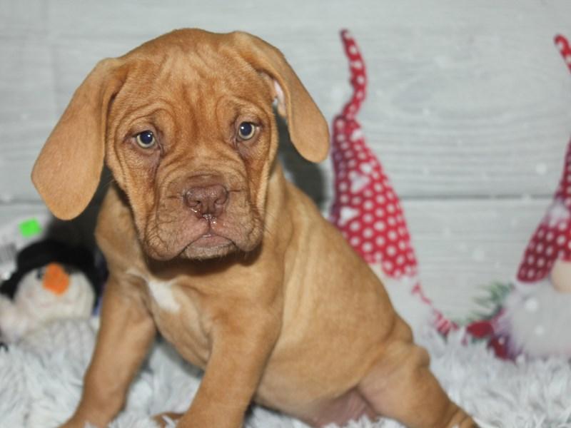 Dogue De Bordeaux-Female-Red-2905574-Pet City Houston