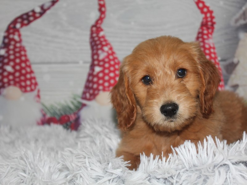 Goldendoodle-Male-GOLDEN-2912707-Pet City Houston