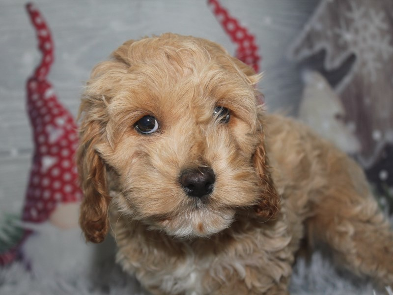 Cockapoo-Female-BROWN/ WHT-2912738-Pet City Houston