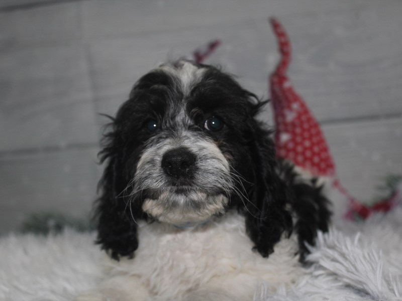 Cockapoo-Male-BLK/ WHT-2912732-Pet City Houston