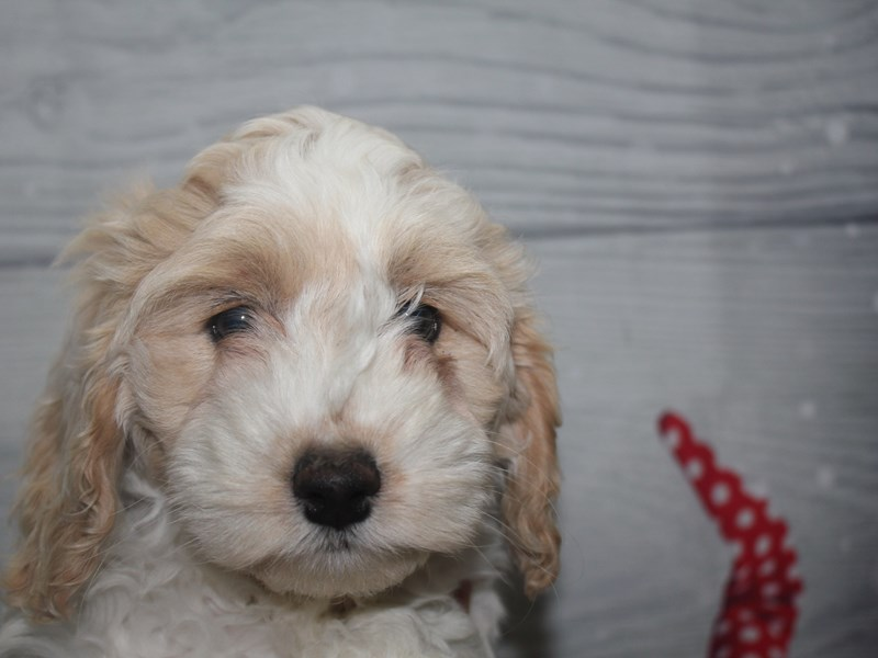 Cockapoo-Female-BUFF / WHT-2912735-Pet City Houston