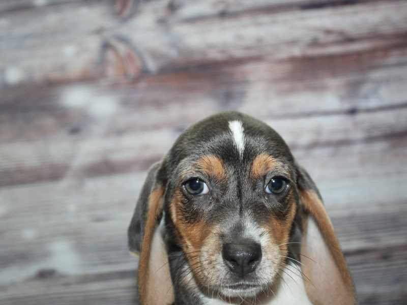 Beagle-Female-GRAY & WHITE-2870282-Pet City Houston