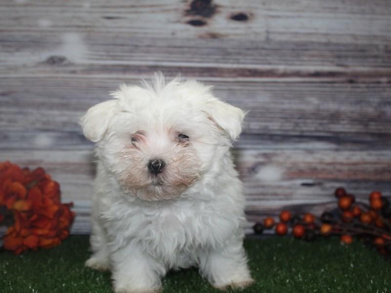 Maltese-Male-WHITE-2869017-Pet City Houston