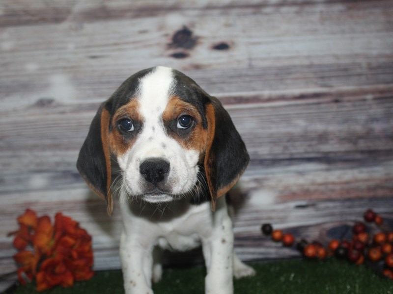 Beagle-Male-TRI-2869124-Pet City Houston