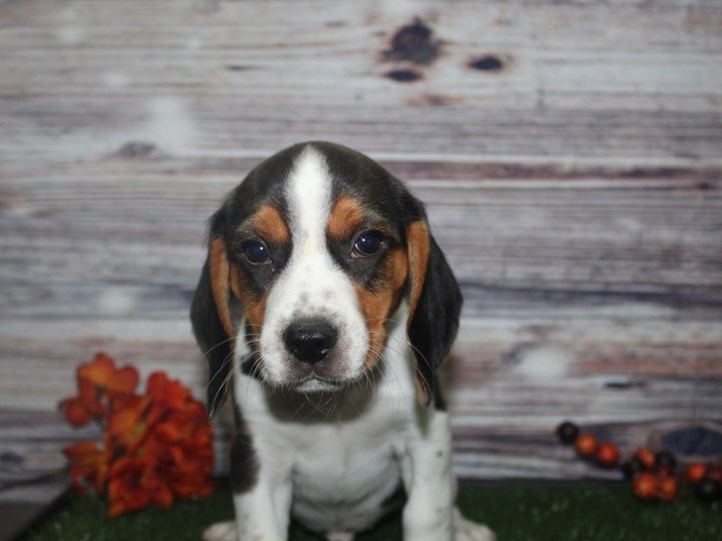 Beagle-Male-TRI-2869123-Pet City Houston