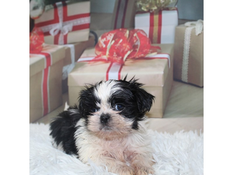 Shih Tzu-Female-BLK/WHT-2905775-Pet City Houston