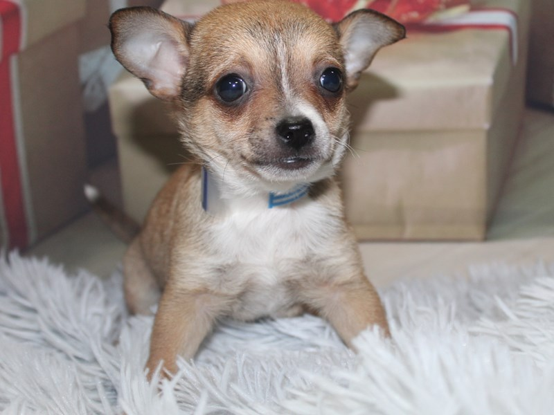 Chihuahua-Male-TAN-2905818-Pet City Houston