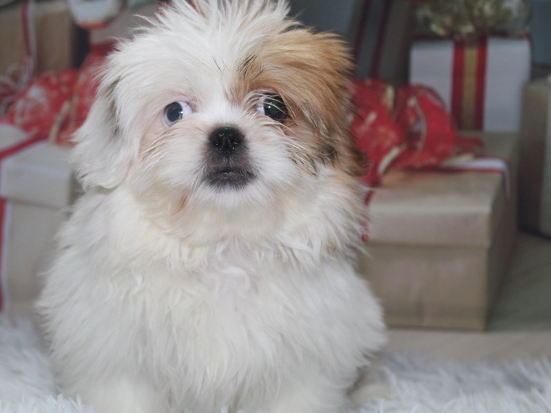 Pekingese-Female-TAN/WHITE-2905786-Pet City Houston