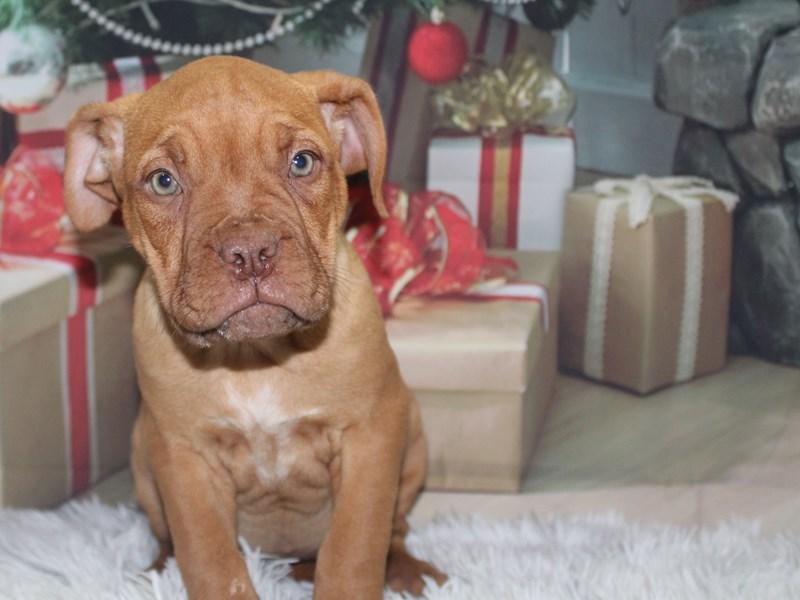 Dogue De Bordeaux-Female-Red-2905573-Pet City Houston