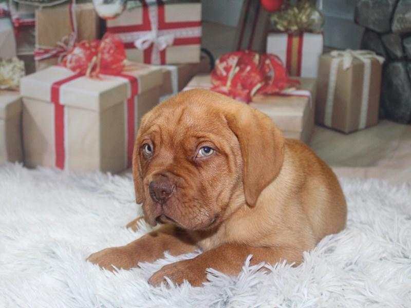 Dogue De Bordeaux-Male-Red-2905569-Pet City Houston