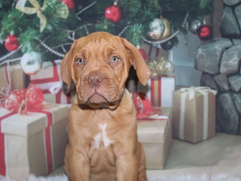Dogue De Bordeaux-Male-Red-2905567-Pet City Houston