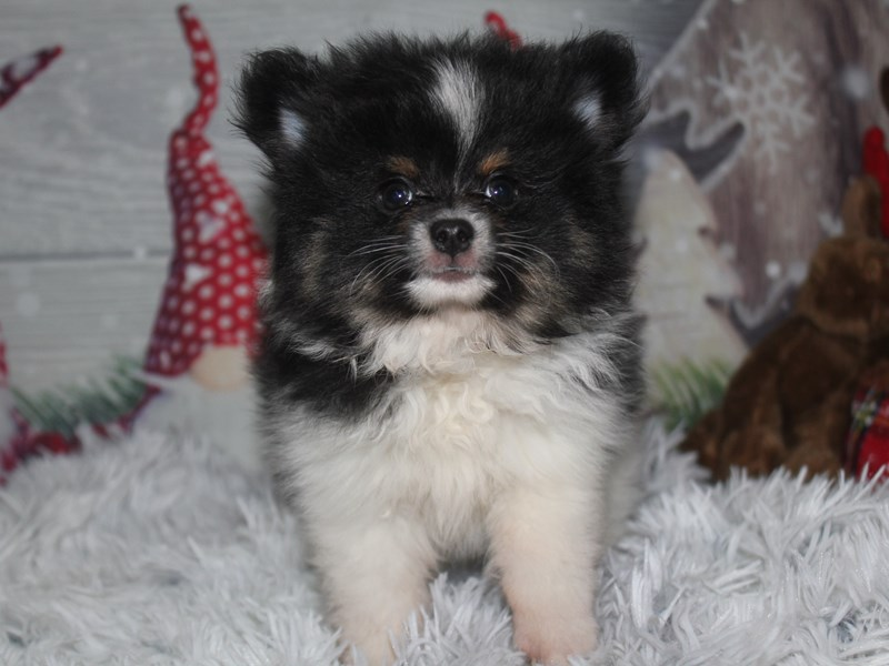 Pomeranian-Male-BLK & WHT-2911224-Pet City Houston