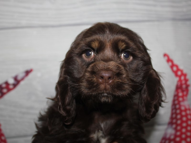 Cocker Spaniel-Female-CHOCOLATE-2912671-Pet City Houston