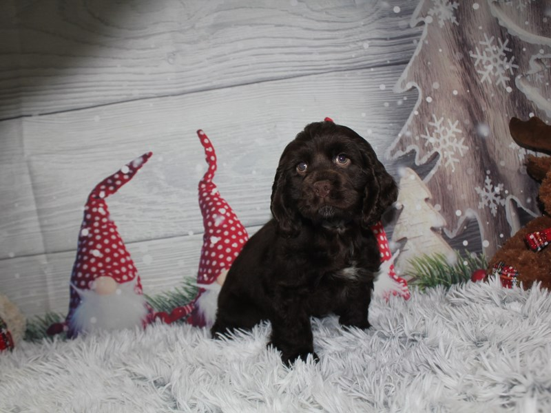 Cocker Spaniel-Male-CHOCOLATE-2912651-Pet City Houston
