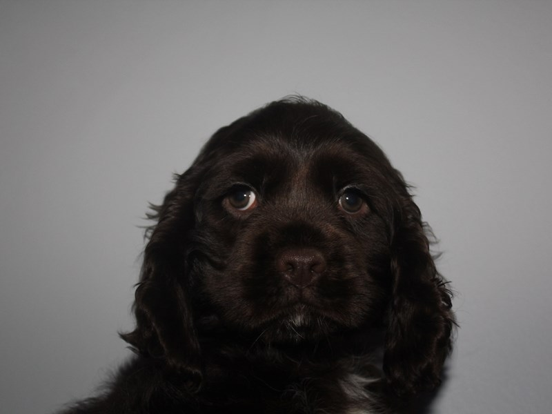 Cocker Spaniel-Male-CHOCOLATE-2912667-Pet City Houston
