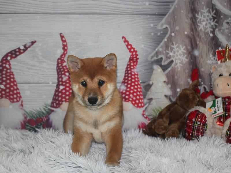 Shiba Inu-Male-Red Sesame-2920027-Pet City Houston
