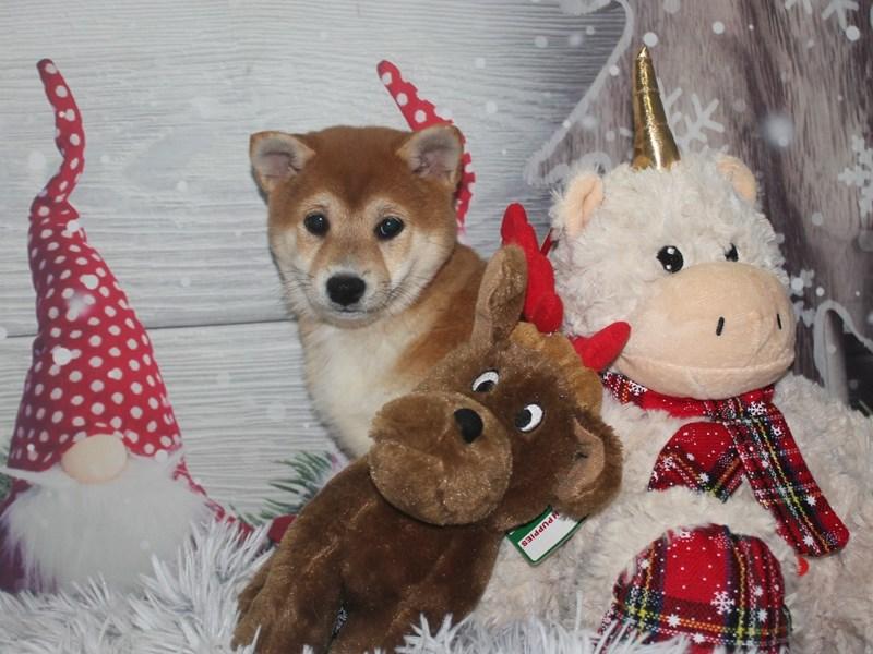 Shiba Inu-Female-Red Sesame-2920042-Pet City Houston