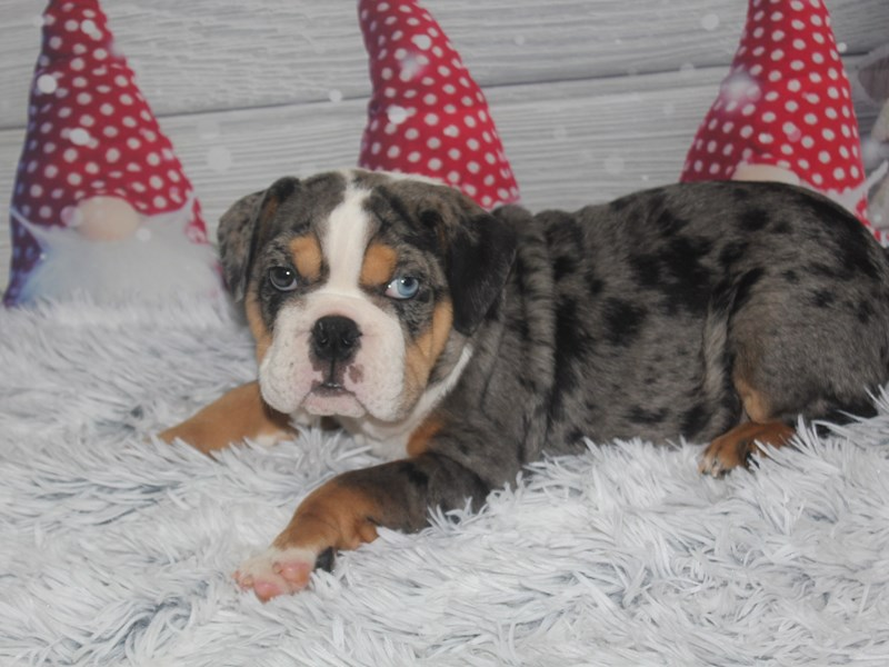 English Bulldog-Male-Lilac Merle-2926765-Pet City Houston