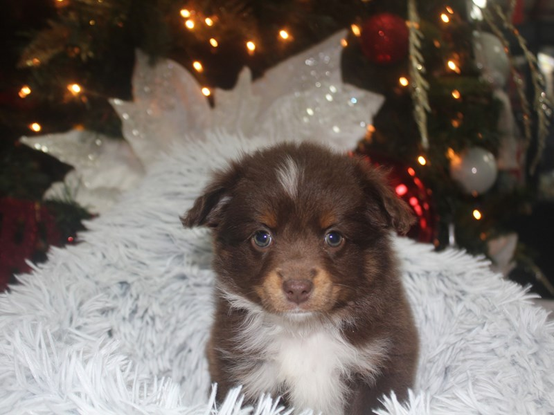 Toy Aussie-Female-RED TRI-2926399-Pet City Houston
