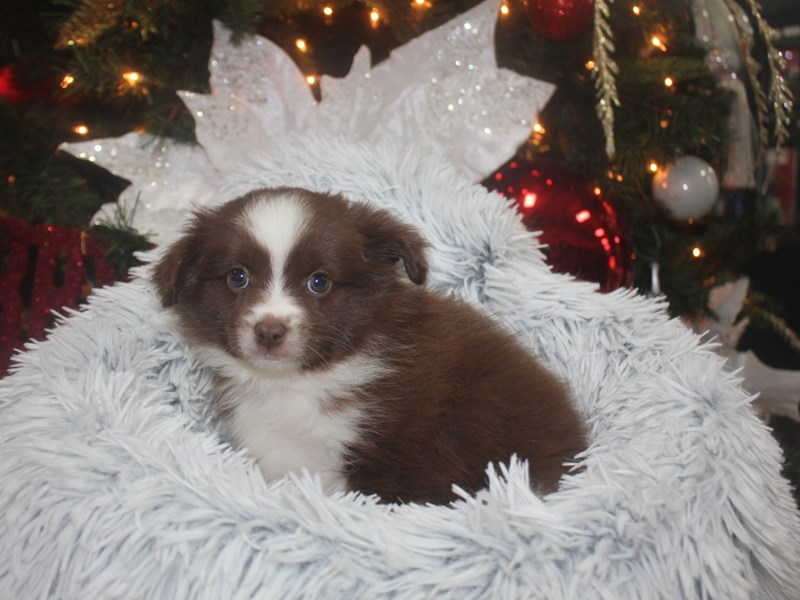 Toy Aussie-Female-RED TRI-2926398-Pet City Houston