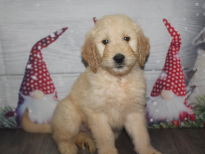 Goldendoodle-Male-GOLDEN-2926360-Pet City Houston