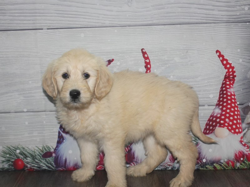 Goldendoodle-Female-GOLDEN-2926361-Pet City Houston