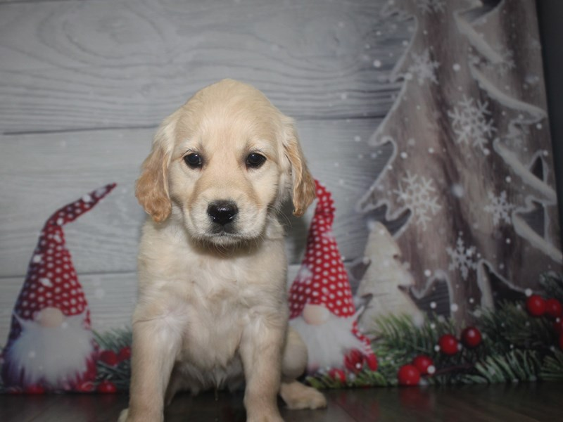 Golden Retriever-Female-GOLDEN-2926363-Pet City Houston
