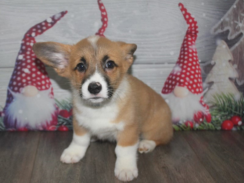 Pembroke Welsh Corgi-Male-RED / WHITE-2926333-Pet City Houston
