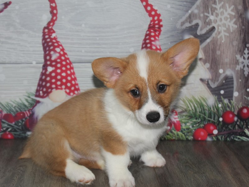 Pembroke Welsh Corgi-Male-RED / WHITE-2926334-Pet City Houston