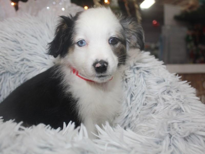 Miniature Australian Shepherd-Female-BLK TRI-2926396-Pet City Houston