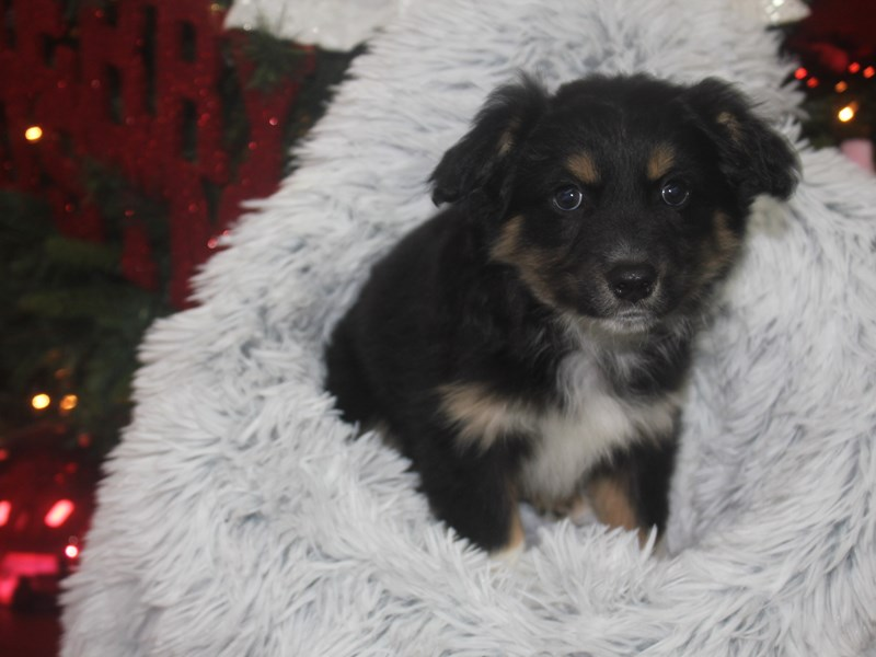 Miniature Australian Shepherd-Male-BLK TRI-2926395-Pet City Houston