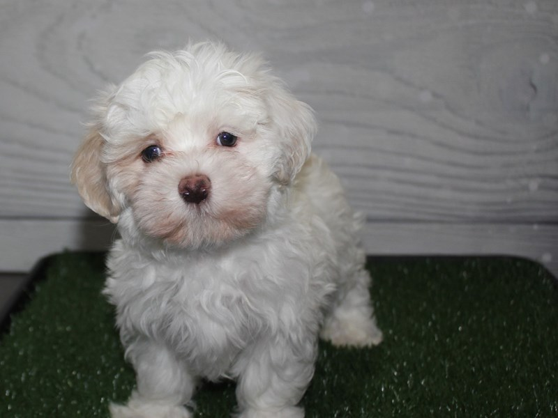 Maltese-Male-White-2927680-Pet City Houston