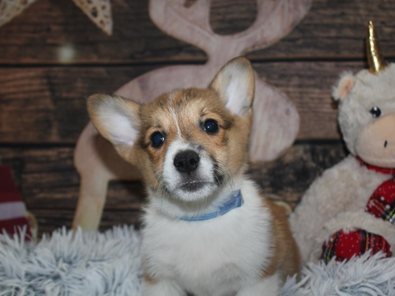 Pembroke Welsh Corgi-Male-Sable & White-2927584-Pet City Houston