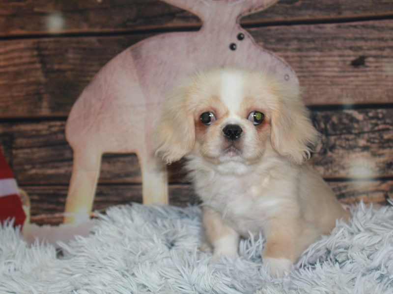 Pekingese-Female-CREAM-2869028-Pet City Houston