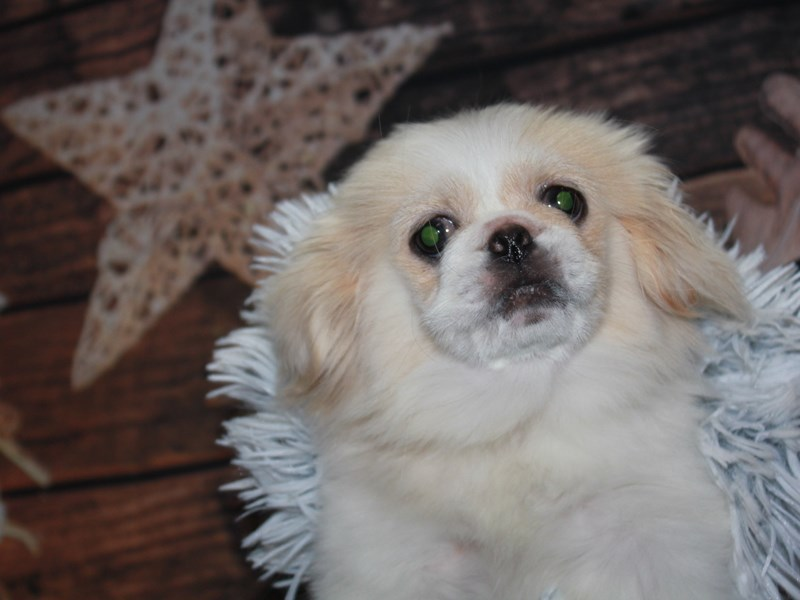 Pekingese-Female-CREAM-2854366-Pet City Houston
