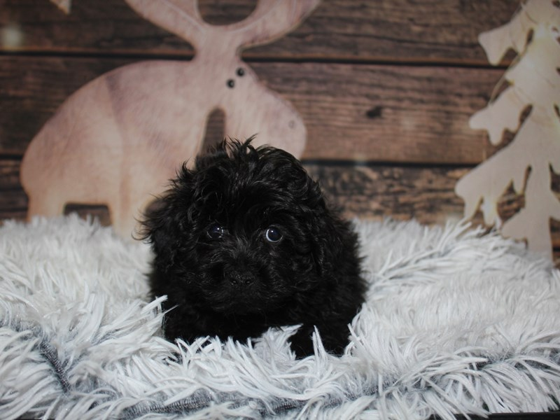 Lhasa Poo-Male-Black-2934893-Pet City Houston
