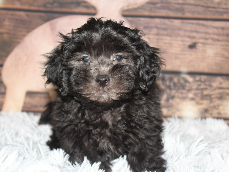 Lhasa Poo-Male-BLACK-2934461-Pet City Houston