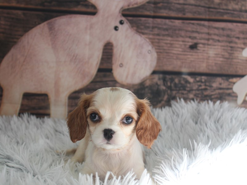 Cavalier King Charles Spaniel-Female-blenheim-2934860-Pet City Houston