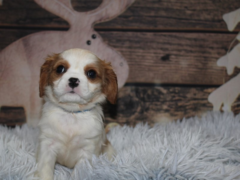 Cavalier King Charles Spaniel-Male-blenheim-2934869-Pet City Houston