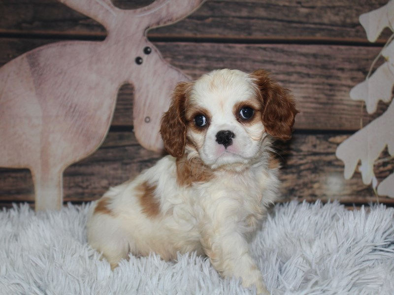 Cavalier King Charles Spaniel-Male-blenheim-2934832-Pet City Houston